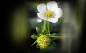 I växthuset är det jordgubbar på gång. Blommor och gröna kart stoltserar fint i ampeln. Men ute dröjer det nog. Lite häftigt när snön ligger kvar i drivor.