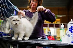 Eva Hagberg från Bjuråker kammar sin tre månader gamla kattunge av rasen Helig Birma.