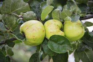 Tre sorters äppelträd finns det i trädgården.