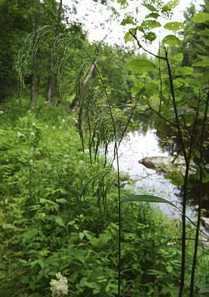 Det sällsynta sötgräset har sin största förekomst för hela Norden här i Mjällådalen.
