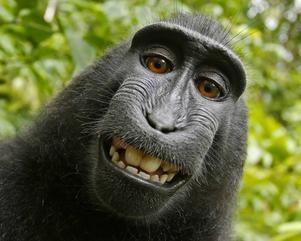 Den indonesiska makaken Narutos selfie gick till domstol, sedan en djurrättsorganisation hävdat att apan borde äga upphovsrätten till bilden.