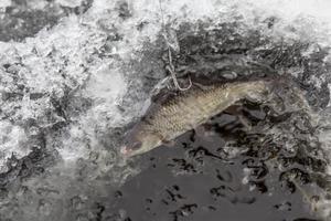 Använd mört eller strömming som betesfisk, levande eller döda.
