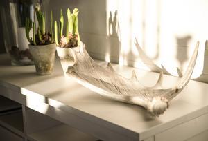 Älghornet ger ett dramatiskt skuggspel när vintersolens strålar tar sig in i huset i Bjärme.