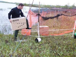 Djurvårdaren John Söderlindh sätter ut fjällgäss i en tillfällig inhägnad där de ska tillbringa natten innan de släpps fria i de lappländska fjällen.