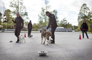 Här tränar Manfred på att hålla kontakt med Leif trots störning av andra hundar och godis i matskålen.