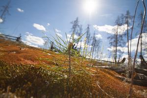 Växtligheten var på väg tillbaka i Hälleskogsbrännan 2017.