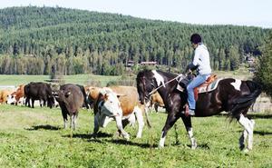 Korna blev först glada att komma ur fållen, men efter ett tag upptäckte de att de glömt sina kalvar kvar och ville tillbaka in. Här ses Ann-Sofie Gunnarsson mota bort en ko.