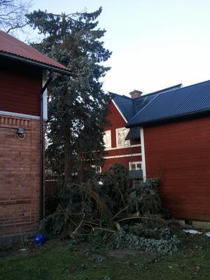 Toppen av granen knäcktes, missade mirakulöst 3 stycken hus. Bro, Borlänge.
