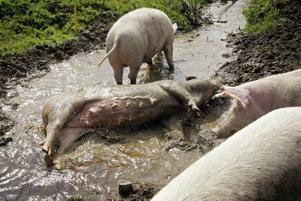 Cicci och Ulf berättar att de i år för första gången kunde åka bort på semestern sedan de skaffat grisar. En vecka var de borta.– Då kom morsan och farsan och skötte om djuren, säger Ulf.Grisar kan inte svettas och rullar därför runt i gyttja för att få svalka.
