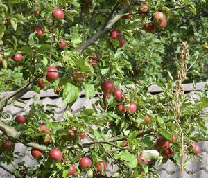 Ingrid-Marie är en äppelsort som normalt inte kan odlas i norra Hälsingland.