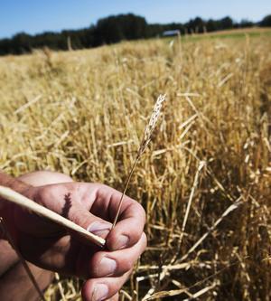 En hagelstorm i början av augusti i Dellenbygden förstörde stora kornodlingar.