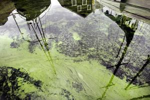 Understiger vattentemperaturen 15 grader dör algerna, likaså dör de om de förbrukar allt syre. Annars finns risk att de blir kvar en tid, eftersom de flutit in i en skyddad hamn.