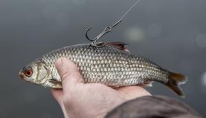 Sätt fast trekroken i betesfiskens rygg.
