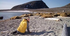 Bland valrossar på Svalbard