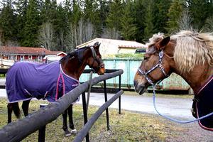 Kommunens häst Berta till höger visar nykomlingen Lelle till vänster vem som bestämmer.