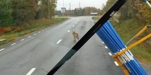 Här rör sig vargen i Kungsfors, norr om Järbo.