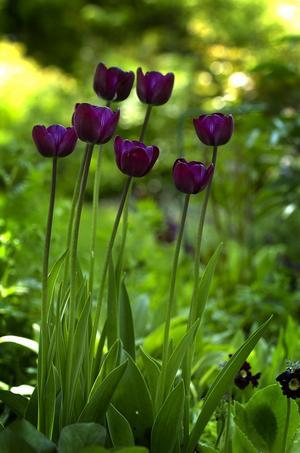 Lila tulpan. Även tulpanerna får allt mörkare färger ocgh går från purpur till svart. Här en högrest grupp lila tulpaner, som blir populärare för varje år.