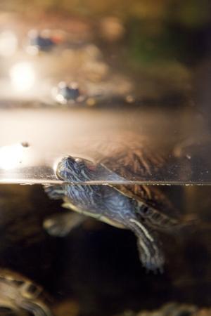 Husdjur. Fyra små sköldpaddor bor i ett akvarium i tv-rummet.