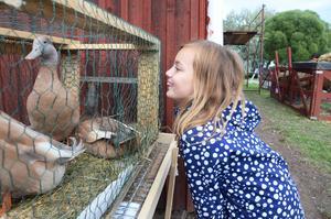 Hanna Ahlberg beundrar de svenska gulankorna, som föds upp av Claudia Last och Felix Göb i Vallsta.