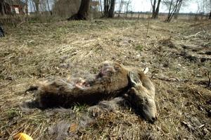 Rovdjursoffer. För andra gången på några månader hittade Ola Dysvik i går ett rivet rådjur strax intill sitt hus. Bild: GÖRAN KEMPE