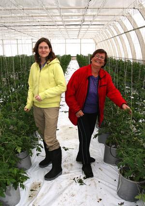 Dotter och mor, Eva och Lea Hörnström, har bråda dagar i familjens tomatodling i Ås.