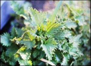 Passa på att plocka nässlornas späda skott och gör en härlig nässelsoppa eller varför inte torka några blad och strö över müslin.