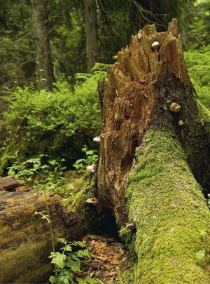 Res till Tyresta för att få uppleva en riktig urskog.