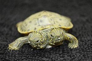 Ännu en tvåhövdad sköldpadda. Den här gången i USA.
