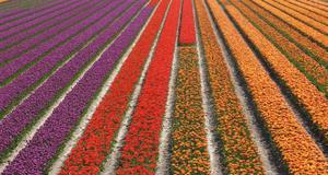 Holland exporterar enorma mängder tulpaner varje år. Dess växer i de nordvästra delarna av landet.