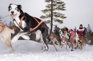 Full fart framåt för jämtlänningen Jimmy Pettersson och hans hundar vid starten under lördagsförmiddagen.