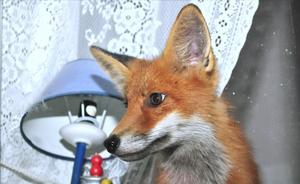 Den unga räven i fönstret