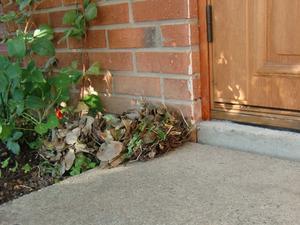 I måndags morse upptäckte vi en lövhög vid vår dörr. Det visade sig var en igelkott som byggt sitt bo där. Han sover där på dagarna.