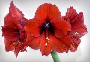 Vanligast är röd amaryllis. Foto: