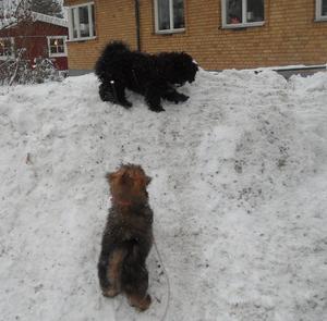 Våran hund Shanti (den bruna) lekte herre på täppan med sin kompis Humle (den svarta). Humle vann uppenbarligen denna gång.