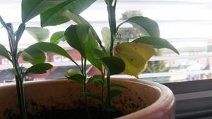 Det fina fjärilen flög in genom fönstret och satt sig bekvämt på citron planta