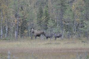 Deltog med min kamera  på älgjakten i Västerbotten under förra veckan. Dessa vackra djur fick passera i fred eftersom jaktlaget beslutat att  ej skjuta ko med kalv.