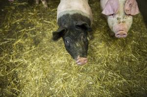 Två nyfikna grisasr på paret Jan-Olof och Maria Johanssons gård i Trehörningsjö.