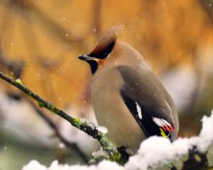 Är sidensvansen Sveriges vackraste fågel? Visst är den vacker men det finns många som är med och tävlar om äran.