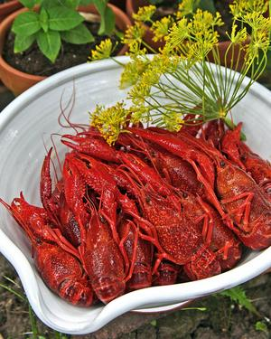 Kräftor trivs bäst tillsammans med krondill. Av kräftskalen kan man koka underbar sås eller soppa.   Foto: Dan Strandqvist