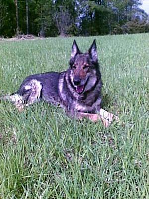 Familjen Lantz guldklimp –Fia – är borta. Familjen tor att någon har stulit deras hund.