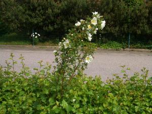 Denna vackra ros kom uppsickande i min hagtornshäck
