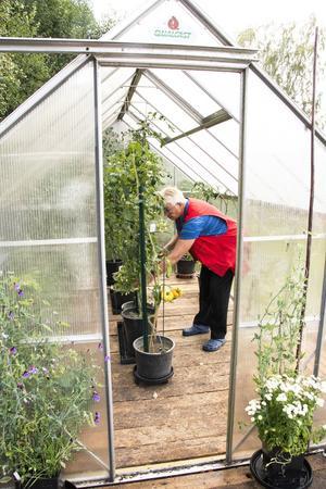I växthusen odlar Berit många olika sorter tomater och gurka.