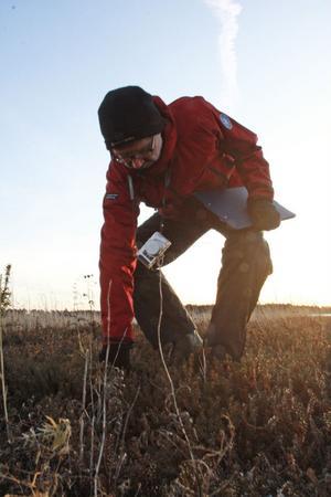Jonas Lundin drar upp en liten tall med rötterna, för att förhindra tillväxten av ett nytt högt träd.