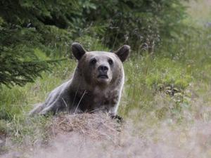 Björnen avbryter för en kort stund sin måltid vid myrstacken, kamerans klickande går den ej obemärkt förbi.