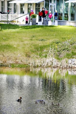 Barnen på förskolan Uppfinnaren har naturen inpå knuten. Förra veckan spanade de på grodyngel. I går dök det upp ännu en fågelfamilj i vattnet.