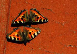 Vårfjärilar. Var ute hos mormor och morfar den 3 april och där möte vi våren. Det var blommor och fågelsång var man än gick. Sen hittade jag två fjärilar som satt på en hus vägg. Halade fram kameran så fort de gick och tog massor med kort. Foto: Julia Hjelmqwist