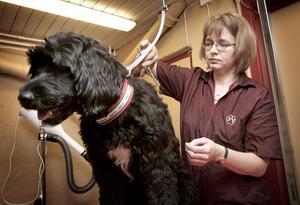 Övar innan starten. Monika Karlsson är diplomerad hundfrisör. Hon har sin första kund nästa vecka, men håller kunskaperna vid liv genom att övningsklippa kompisarnas hundar. Den portugisiska vattenhunden Chelsea gillar inte att bli klippt.