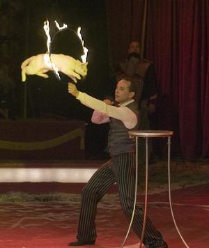 Katterna gör sig utmärkta som cirkusdjur. Snabba, viga och faktsikt roliga. Och hålla balansen kan de. Antingen de sitter högt upp på en stång eller kryper hängandes upp och ner. Rädda för elden är de inte heller och hoppar vigt genom en brinnande ring. Cirkus Maximum har gjort katterna till ett huvudnummer.