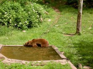 En varm dag på Skånes djurpark kom björnen lufsande mot oss och lade halva kroppen i poolen. Fotot är taget 12.juni iår.