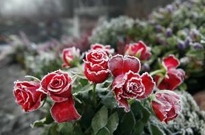 Rosorna i minneslunden är täckta av frost. Vinterkylan smyger sig på och några fler urnsättningar kommer inte att ske i år.
